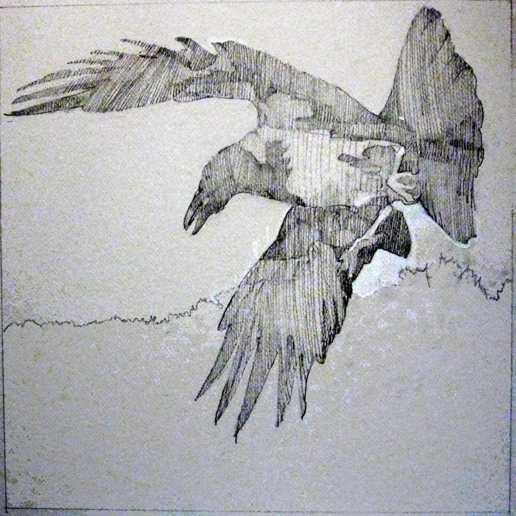Hooded Crow, graphite and gouache on board, 14 x 14 inches