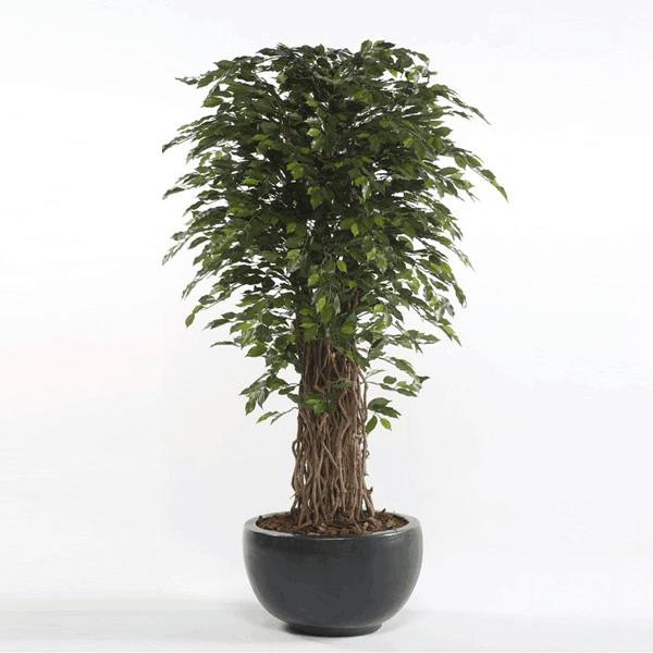 Árbol Ficus Deluxe Muebles Polque