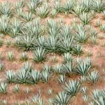 Agave y Maguey