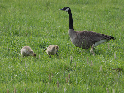 a goose and 2 goslings