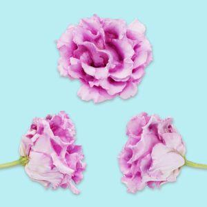 Carnation Clove Pink Dianthus Caryophyllus