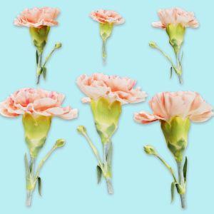 Carnation Clove Pink Dianthus Caryophyllus 2