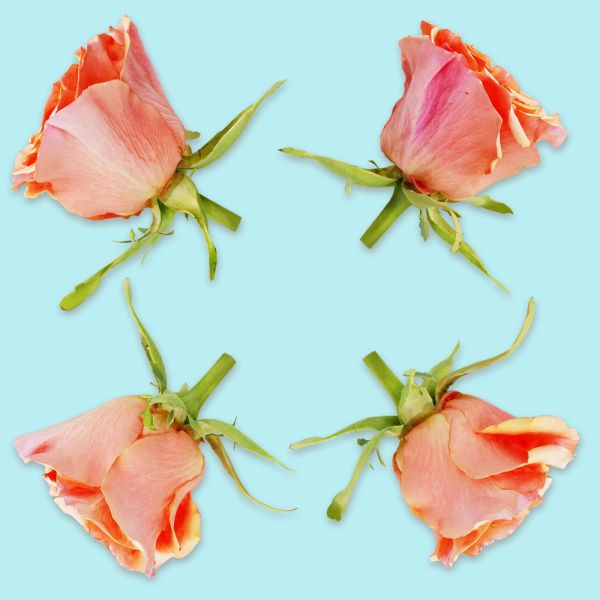 China Chinese Rose Rosa Chinensis