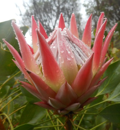 King Protea Cropped