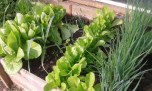 spring onion and lettuces