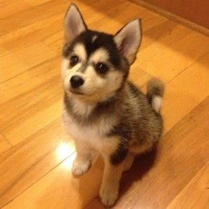 pomeranian husky price how much does it cost to buy a pomsky puppy cute pomsky 5290