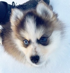 Via Paisley The Pomsky