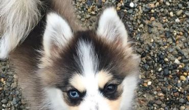 Pomsky looking at you
