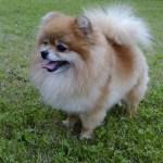 Pomeranian fenka (female)