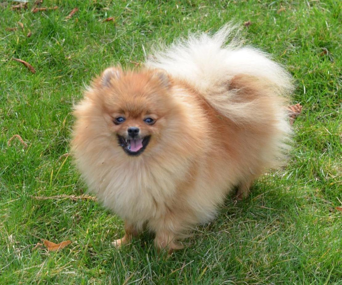 Pomeranian Engie (1)