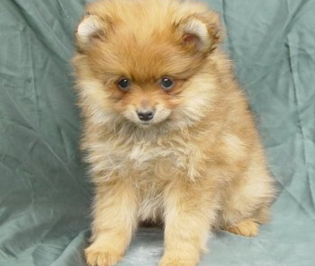 Poor Pomeranian Puppy