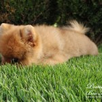 Male Pomeranian Puppy With Boo Hairstylepomeranian Puppies For Sale Bo Price Boo Puppy Pomeranian For Sale Pomeranian Breeders Pomeranian Boo Kennel