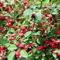 Vanzare arbusti fructiferi