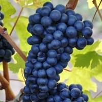 Struguri de vanzare pentru vin - Feteasca neagra - 1,8 lei
