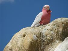 Galahs nest in the hollows