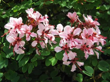 Bauhinia vine