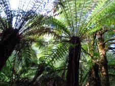 Towering tree ferns Dicksonia Antartica
