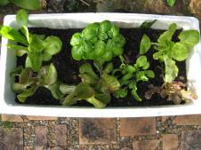 Lettuce,rocket and basil in a Styrofoam box