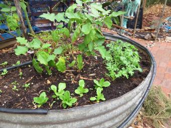 Lettuce and eggplants