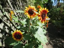 sunflowers and rain pc 001_4000x3000