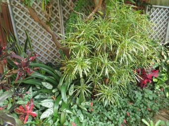 This is the parent croton shrub