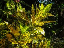 spotted croton_4000x3000