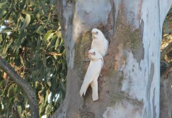 2 corellas watch from their nesting hole in the tree.