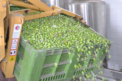 The first crop of olives from Pomora's Scilian Producer