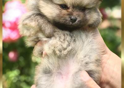 pomeranian-pupies-Pannon-Star-kennel