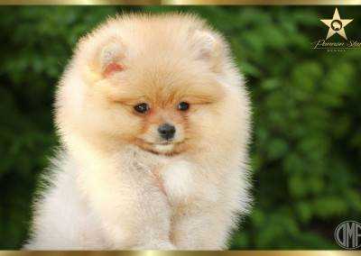 pomeranian-kennel-pannon-star