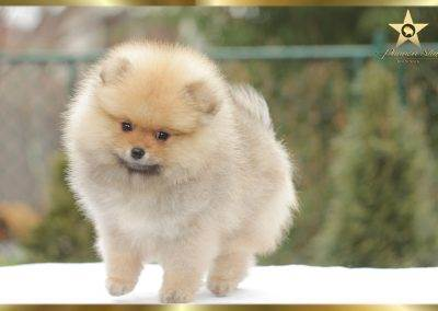 Pannon Star kennel pomeranian