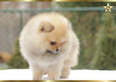 pomeranian kennel Pannon Star new hope