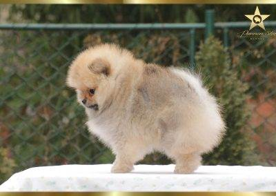 Pannon Star Just for me pomeranian female