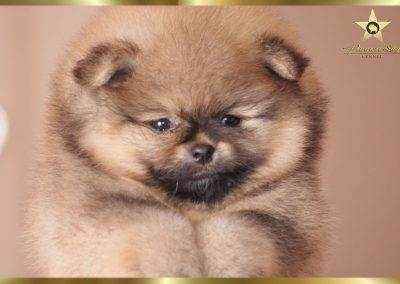 pomeranian male for sale