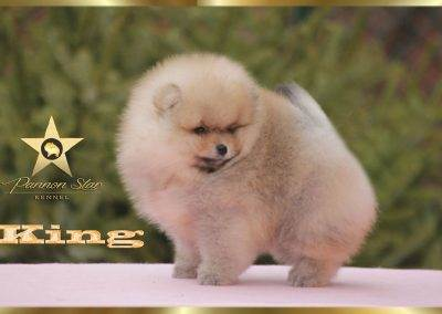 pomeranian-boy-king-pannon-star