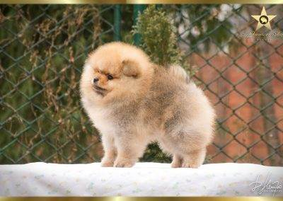 pomeranian-boy-pannon-star-jack-and-jones-pomeranac-musko-stene