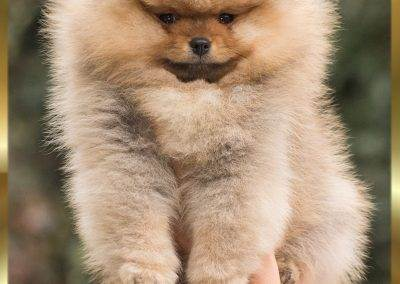pomeranian-boy-pannon-star-kennel