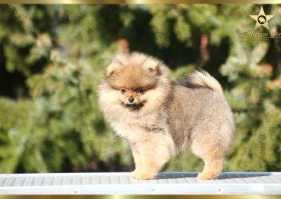 pomeranian-female-pannon-star-kennel