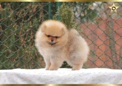 pomeranian-show-quality-pannon-star-kennel