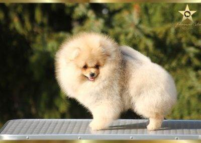 pomeranian,spitz nano,nain spitz ,pomeranski spic for sale beautiful boy
