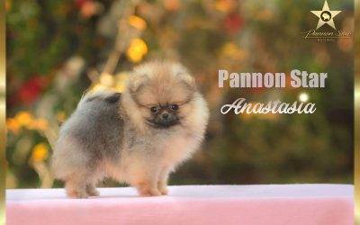 Pomeranian female / Zensko stene – NOT FOR SALE/  NIJE NA PRODAJU