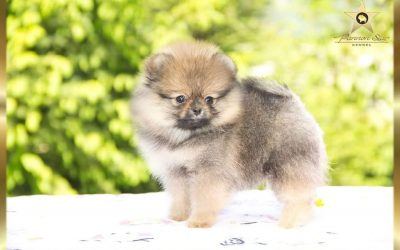 Pomeranian girl/Zensko stene -NOT FOR SALE/ NIJE NA PRODAJU