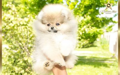 Pomeranac zensko stene/ Pomeranian female -NIJE NA PRODAJU/NOT FOR SALE