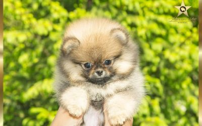 Pomeranac zensko stene/Pomeranian female -NIJE NA PRODAJU/ NOT FOR SALE