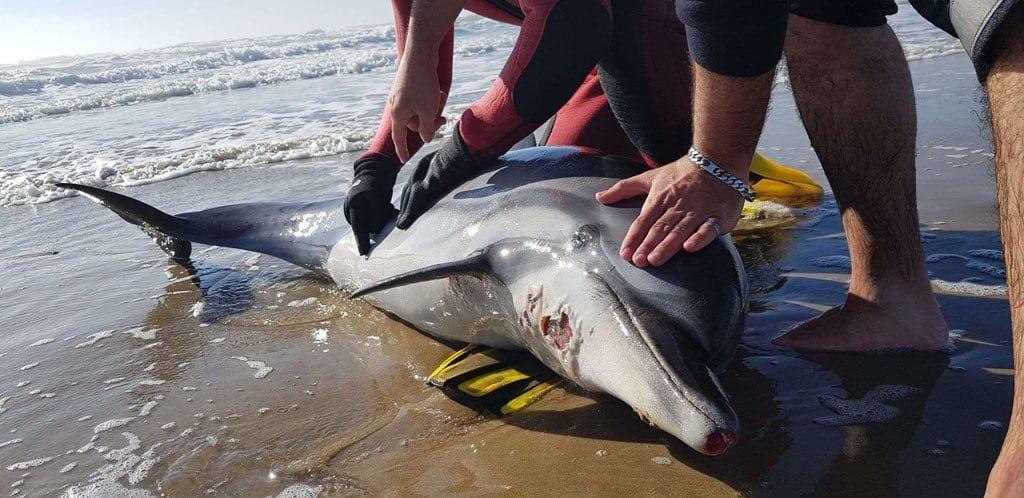 ?? Cap d'Agde (34) : Un dauphin échoué sur la plage d'Héliopolis