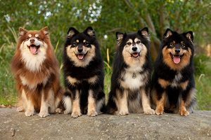 Finnish Lapphunds in all sorts of colors