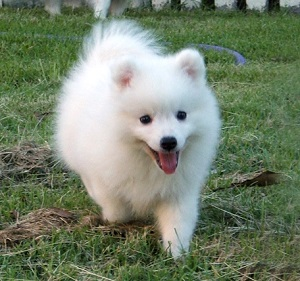 Japanese Spitz cute puppy