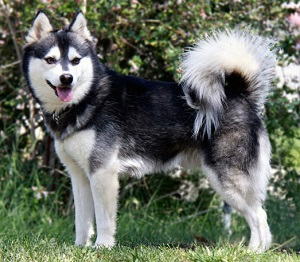 Alaskan Klee Kai standing tall in front of the trees