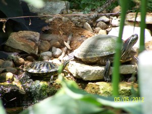 Turtles in Stream Pond