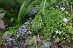 Fall Asters and Plumbago